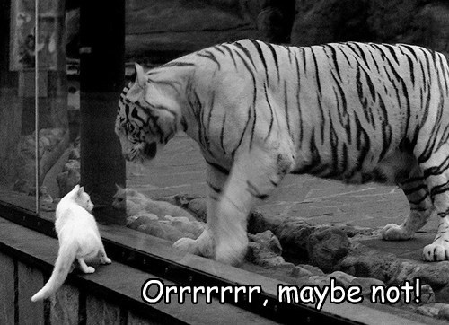zoo scared tiger Cats funny - 7693368576