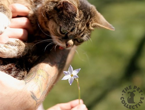 lil bub cute Cats the pet collective - 7693450496