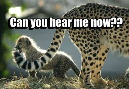 tail,can you hear me now,cheetahs,funny