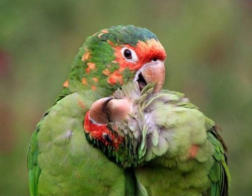 scratch birds parakeets - 7696553728