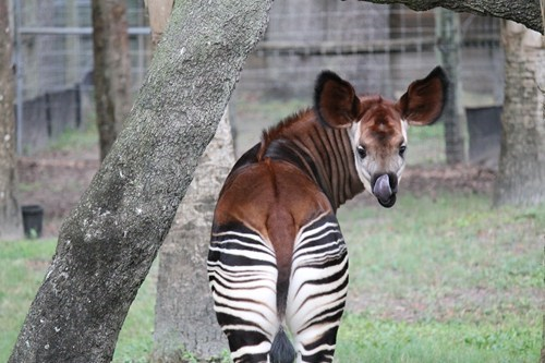 okapi,zoo,cheeky