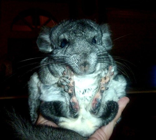 cannonball pet chinchilla - 7702882816