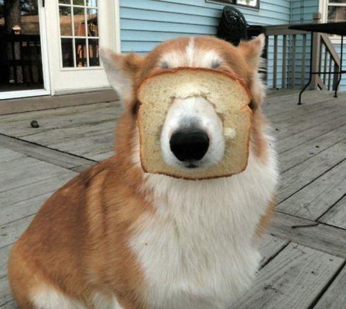 corgi bread dogs funny - 7703974400