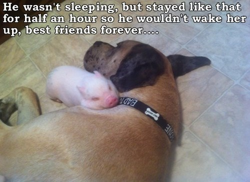 dogs heartwarming Interspecies Love pig - 7704546304