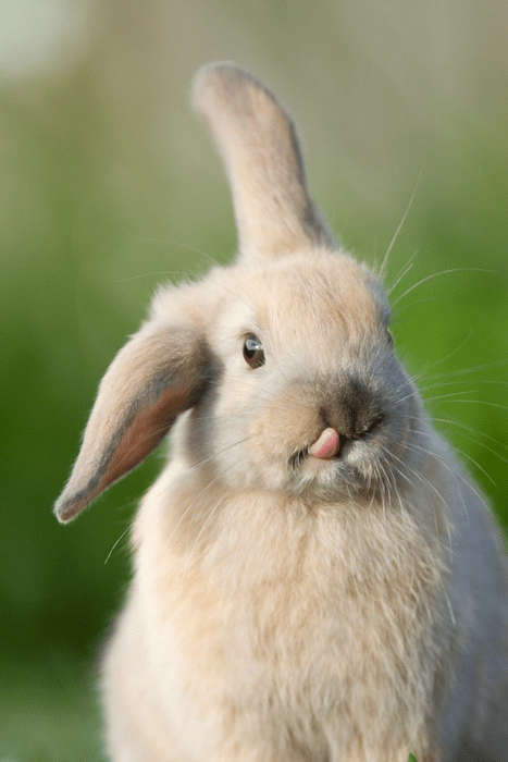 tongue bunny funny derp - 7704602112