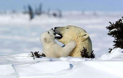 icy,polar bear,hug