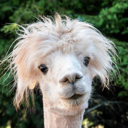 llama wild hair funny - 7707200512