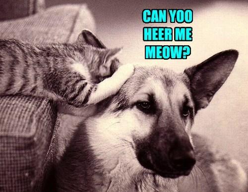 ears Cats funny - 7709538816