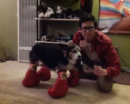 pun southpaw boxing boxer pup - 7709628672