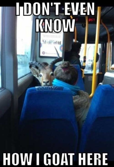 goat puns funny bus - 7709750272