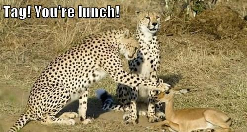 lunch,cheetahs,tag,funny