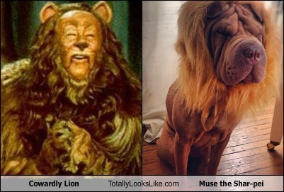 sharpei,totally looks like,funny dogs,Cowardly Lion