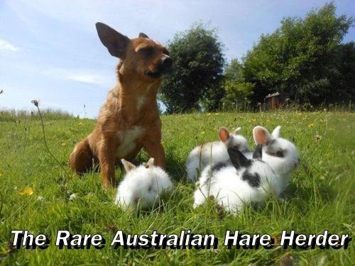 The Rare Australian Hare Herder