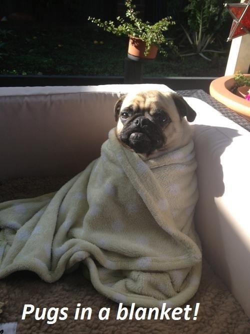 pug,puns,blanket