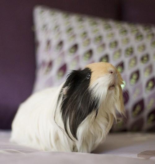 pets guinea pig rip - 7717594112