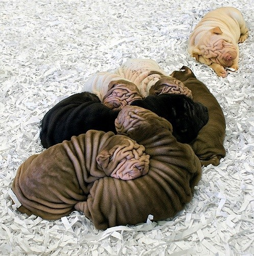 wrinkled sharpie puppies cute - 7718542592