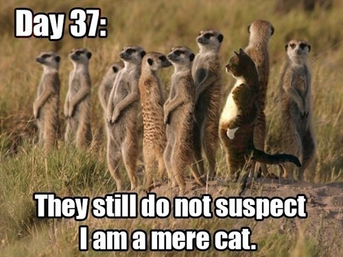 pun,meerkat,funny