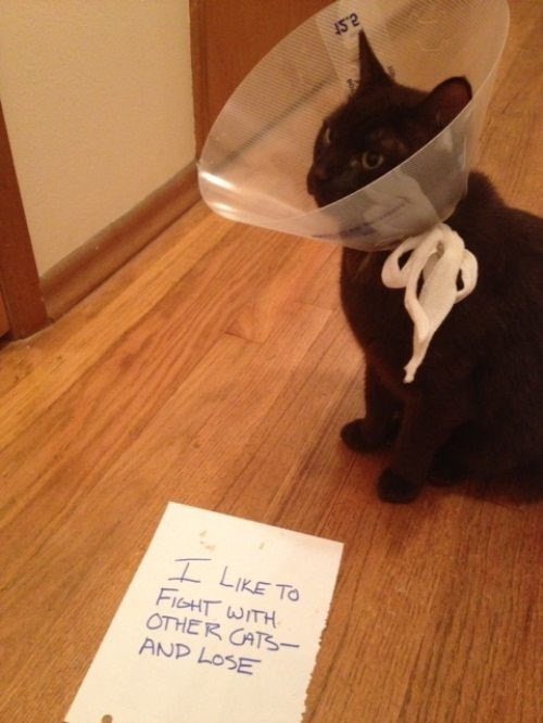 cat shaming,Cats,funny,cone of shame,fight
