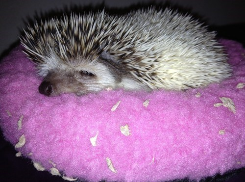 hedgehog,funny,sleepy