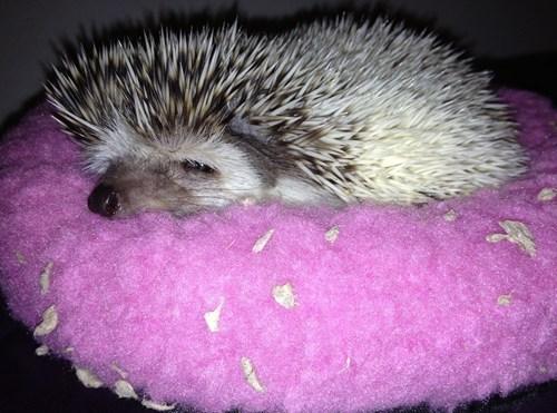 hedgehog funny sleepy - 7721083904