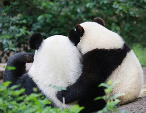 bear,panda,hug