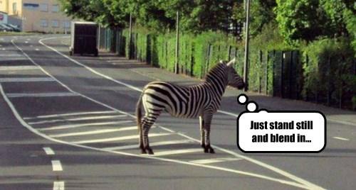 zebra,street,lines,funny