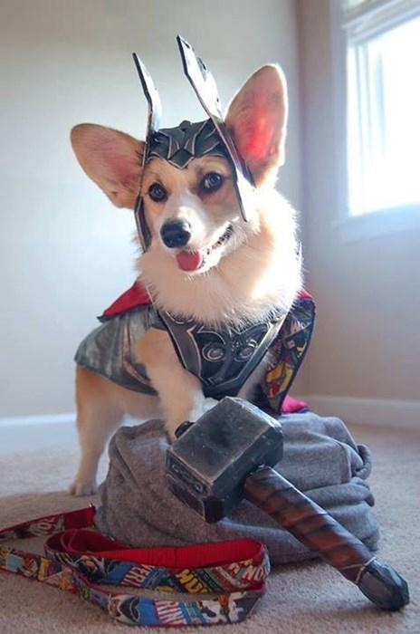 costume,Thor,corgi,funny