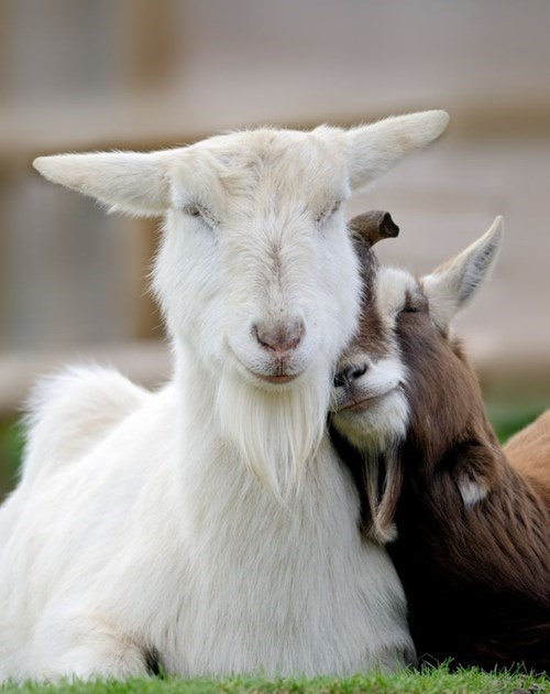 shoulder goats - 7728281600