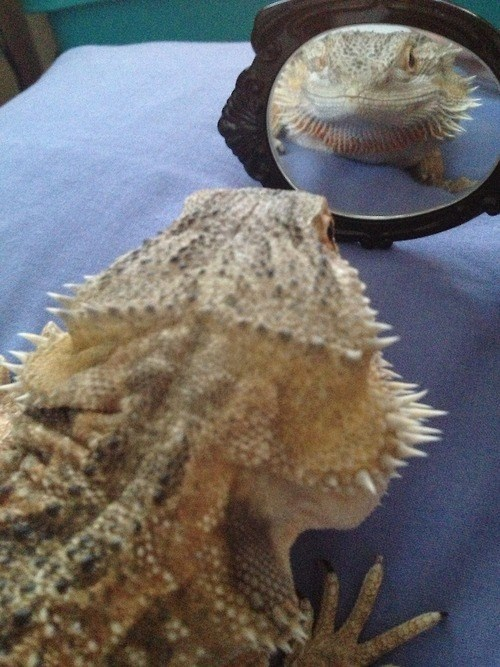 mirror,lizard,beautiful