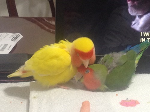birds,lovebirds,laptop