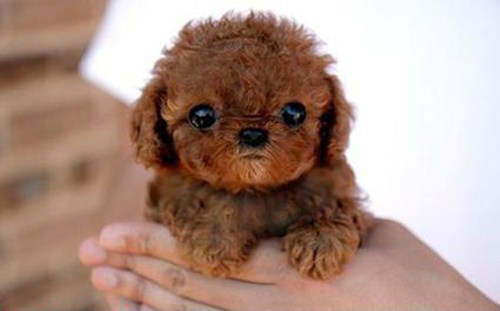 teddy bear dogs puppy