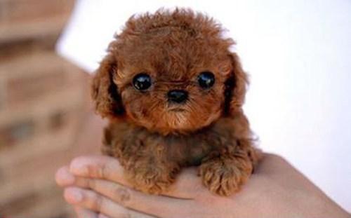 teddy bear dogs puppy - 7731441152
