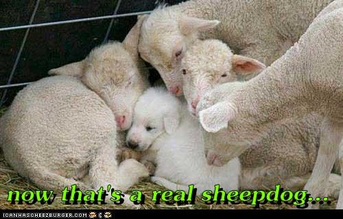 cute Sheep Dog sleep - 7732863488