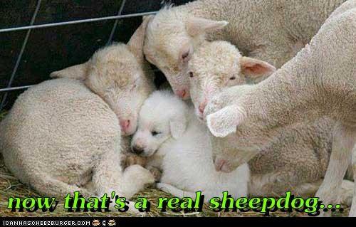 cute Sheep Dog sleep - 7732863488