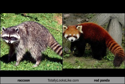 red pandas,totally looks like,raccoons,funny