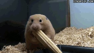 This Hamster is Bogarting All The Corn