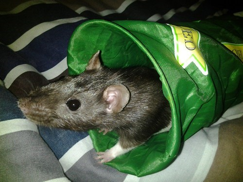 rat,pets,rip
