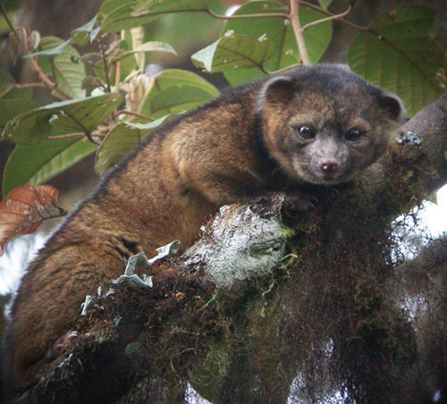 olinguito,south america,discovery,mammal