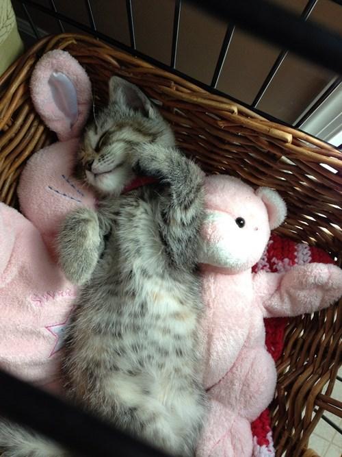 kitten sleep Cats - 7741705984
