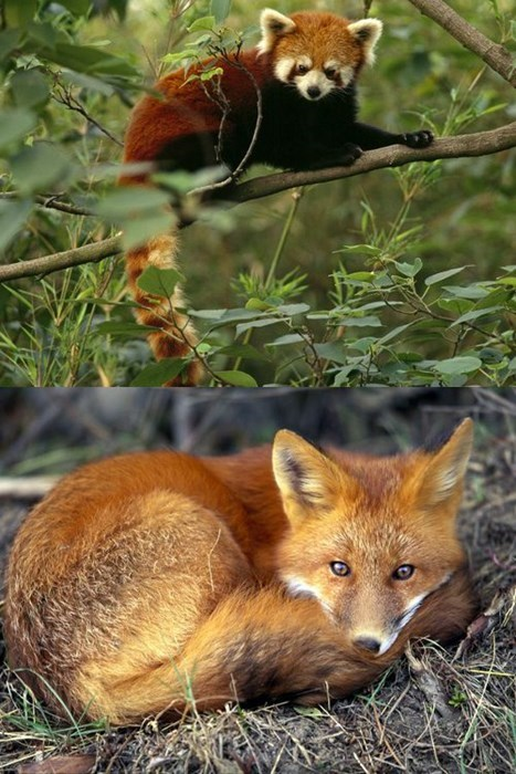 red panda,red fox,squee spree