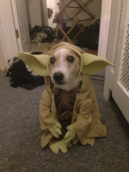 dogs,cosplay,cute,yoda