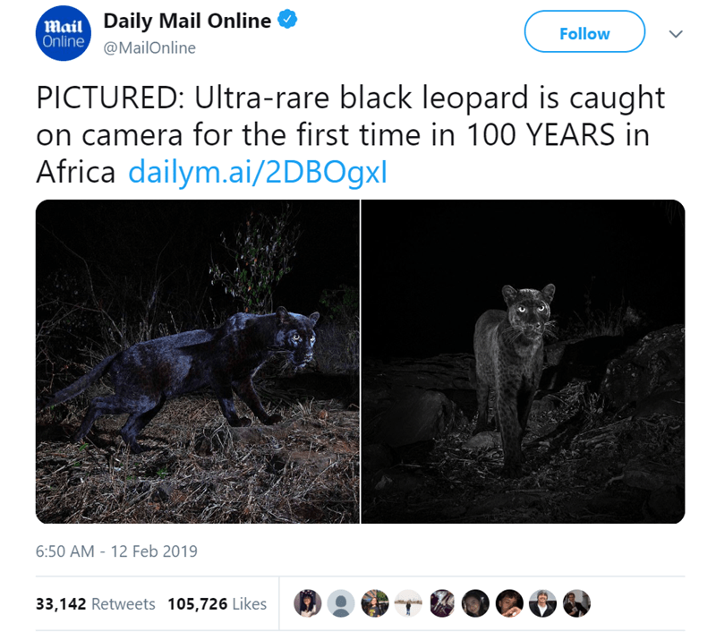 rare photos of a black leopard