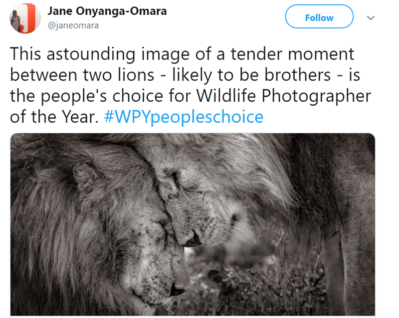 winner of wildlife photographers public vote with photo of two lions