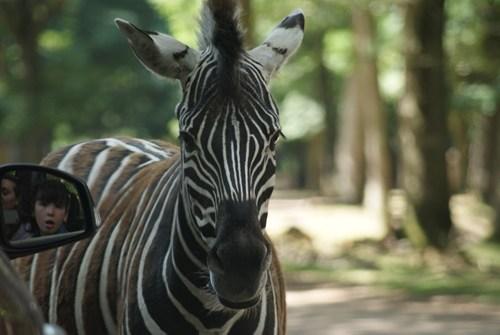 zebra photobomb mirrors funny - 7743755520