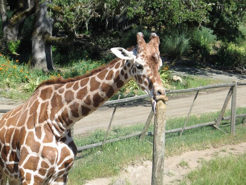 giraffe photoshop battle