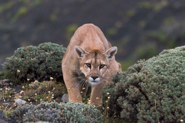 mountain lion puma trek Chile trip - 7746821