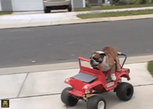 people pets,english bulldog,power wheels,funny,Video