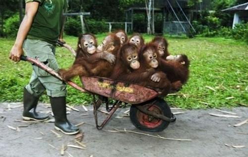 orangutans - 7749632256