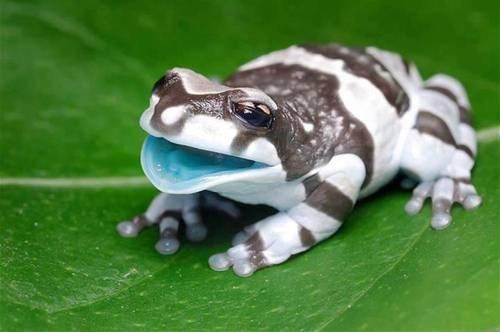 milk frog,wtf,biology,funny,frog