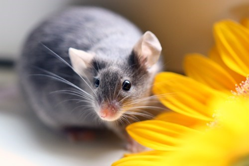 color,accessorizing,Flower,funny,mouse